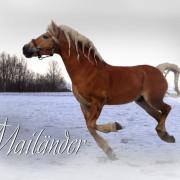 Haflinger Hengst Mailänder, Pferd im Schnee, Ivonne Hellenbrand
