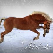 Spaß im Schnee, Haflinger Hengst Mailänder, Ivonne Hellenbrand